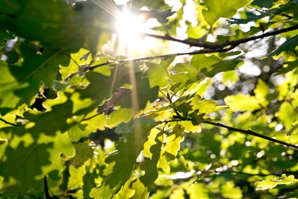 Eichenblaetter Sonnenschein